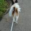 散歩 犬 パピヨン おしり