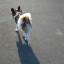 犬 おしり かわいい パピヨン