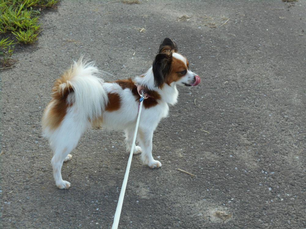 散歩 犬 パピヨン