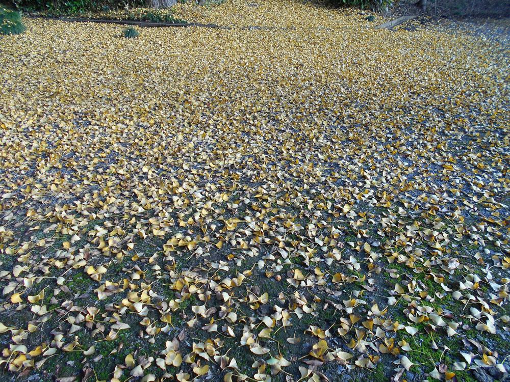イチョウ 紅葉 地面